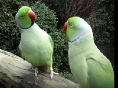 Разговор двух попугаев