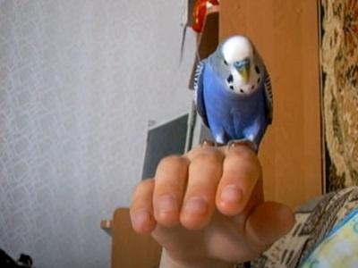 Стёпка - говорящий попугайчик