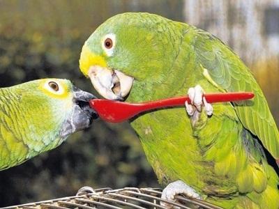 Смешной разговор двух попугаев